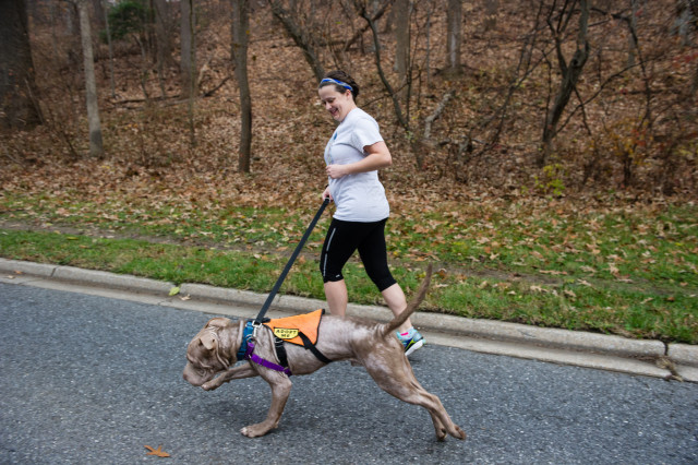A PACK volunteer takes a dog for a run. Photo: Marleen van den Neste